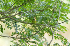 Pequeño pájaro verde del Abeja-comedor en encaramarse amarillo en la rama de árbol du Fotografía de archivo