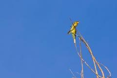 Pequeño pájaro verde del comedor de abeja Foto de archivo libre de regalías