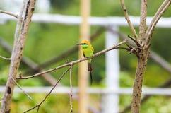 Pequeño pájaro verde del comedor de abeja Imagen de archivo