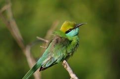 Pequeño pájaro verde del comedor de abeja, Sri Lanka Fotos de archivo