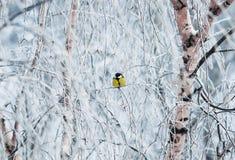 Pequeño paro del pájaro que sienta en el parque en invierno las ramas Foto de archivo libre de regalías