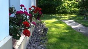 Pequeño paseo de gato del gatito cerca del travesaño de la ventana de la casa con las flores almacen de metraje de vídeo