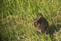 Pequeño pato del bebé en la tierra Foto de archivo libre de regalías