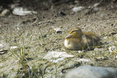 Pequeño pato del bebé en la tierra Fotos de archivo libres de regalías