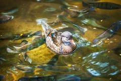 Pequeño pato hermoso Fotografía de archivo