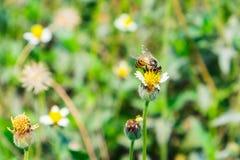 Pequeño pequeño amarillo de la flor de la abeja que se sostiene Fotografía de archivo libre de regalías