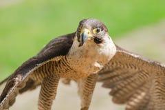 Pequeño pero ayuna el halcón o el halcón despredador del pájaro Fotos de archivo libres de regalías
