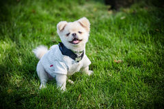 Pequeño perrito Él sonríe y muestra sus dientes caninos minúsculos Imagen de archivo