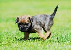 Pequeño perrito adorable del terrier de frontera fotografía de archivo libre de regalías