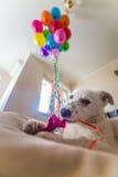 Pequeño perrito blanco con los puntos negros El perrito estalló el globo y lo mastica en el sofá Imágenes de archivo libres de regalías