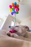 Pequeño perrito blanco con los puntos negros El perrito estalló el globo y lo mastica en el sofá Fotos de archivo libres de regalías