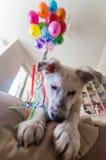 Pequeño perrito blanco con los puntos negros El perrito estalló el globo y lo mastica en el sofá Foto de archivo libre de regalías