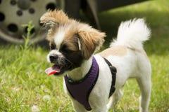 Pequeño perrito blanco-marrón manchado con Imágenes de archivo libres de regalías