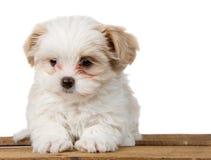 Pequeño perrito blanco que se sienta en un tablón Imagen de archivo