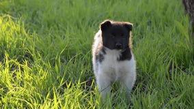 Pequeño perrito, caminando en la hierba almacen de video