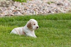 Pequeño perrito criado en línea pura de cocker spaniel del inglés Foto de archivo libre de regalías