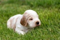 Pequeño perrito criado en línea pura de cocker spaniel del inglés Fotos de archivo