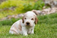 Pequeño perrito criado en línea pura de cocker spaniel del inglés Imágenes de archivo libres de regalías