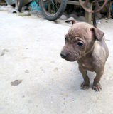Pequeño perrito de Brown que espera en la calle Foto de archivo