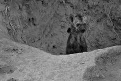 Pequeño perrito de la hiena que juega fuera de su conversión artística de la guarida Imagen de archivo libre de regalías
