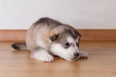 Pequeño perrito de la raza el Malamute de Alaska que miente en el piso Imagenes de archivo
