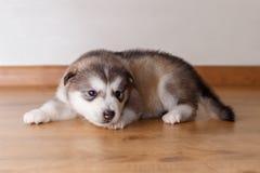 Pequeño perrito de la raza el Malamute de Alaska que miente en el piso Foto de archivo