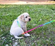 Pequeño perrito de oro Labrador nombrado Goldy fotografía de archivo libre de regalías