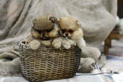 Pequeño perrito de Pomeranian que se sienta en una cesta cerca de la tela escocesa gris en el estudio Fotografía de archivo libre de regalías