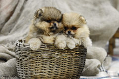 Pequeño perrito de Pomeranian que se sienta en una cesta cerca de la tela escocesa gris en el estudio Imagen de archivo