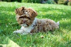 Pequeño perrito del frisé del poil del ¡de Bichon Frise Bichon à imagen de archivo