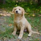 Pequeño perrito del pastor en hierba Foto de archivo