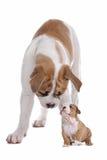 Pequeño perrito del perro grande Foto de archivo libre de regalías