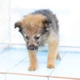 Pequeño perrito del retrato Foto de archivo libre de regalías
