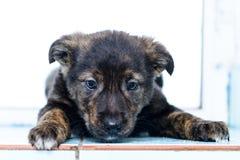Pequeño perrito del retrato Fotografía de archivo