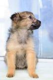 Pequeño perrito del retrato Imágenes de archivo libres de regalías