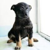 Pequeño perrito del retrato Fotos de archivo libres de regalías