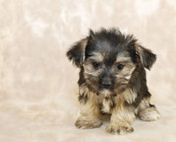 Pequeño perrito dulce de Morkie Imagen de archivo