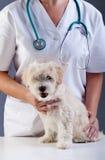 Pequeño perrito en el veterinario Foto de archivo