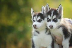 Pequeño perrito fornido dos Imagen de archivo libre de regalías