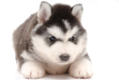 Pequeño perrito fornido lindo Imagen de archivo libre de regalías