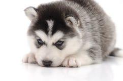 Pequeño perrito fornido lindo en el fondo blanco Foto de archivo
