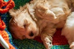 Pequeño perrito havanese que duerme en cama fotografía de archivo