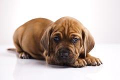 Pequeño perrito lindo Imágenes de archivo libres de regalías