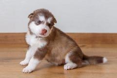 Pequeño perrito lindo de la raza el Malamute de Alaska que se sienta en el piso Foto de archivo libre de regalías