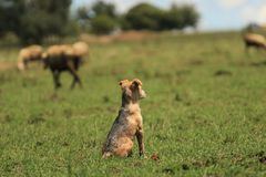 Pequeño perrito lindo que mira las ovejas por primera vez