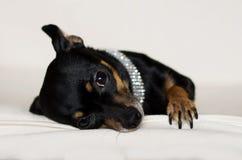 Pequeño perrito negro Foto de archivo libre de regalías