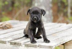 Pequeño perrito negro lindo, fotografía de la adopción del rescate del animal doméstico Fotografía de archivo