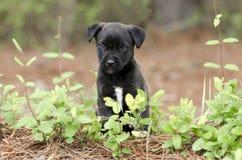 Pequeño perrito negro lindo, fotografía de la adopción del rescate del animal doméstico Fotos de archivo