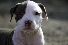 Pequeño perrito observado manchado del pitbull fotos de archivo