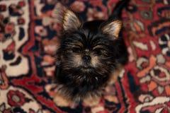 Pequeño perrito peludo que se sienta en una manta oriental foto de archivo libre de regalías